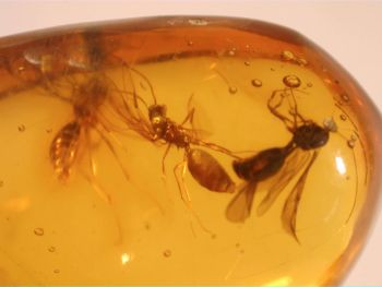 Dominican Amber Inclusion #71 (Winged Ants)