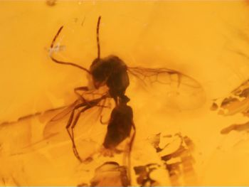 Dominican Amber Inclusion #72 (Winged Ants)