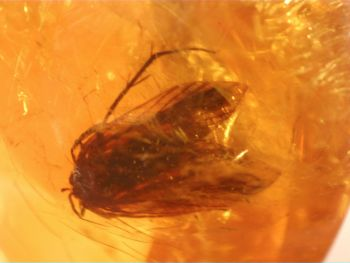 Dominican Amber Inclusion #74 (Winged Insect)