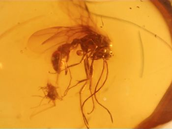 Dominican Amber Inclusion #75 (Winged Ant)