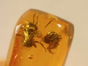 Dominican Amber Inclusion #78 (Insects)