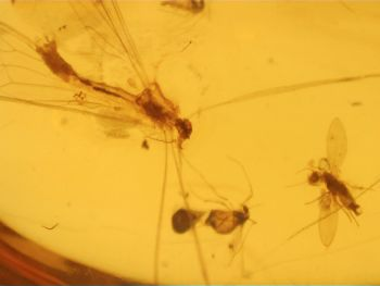 Dominican Amber Inclusion #80 (Winged Insects)
