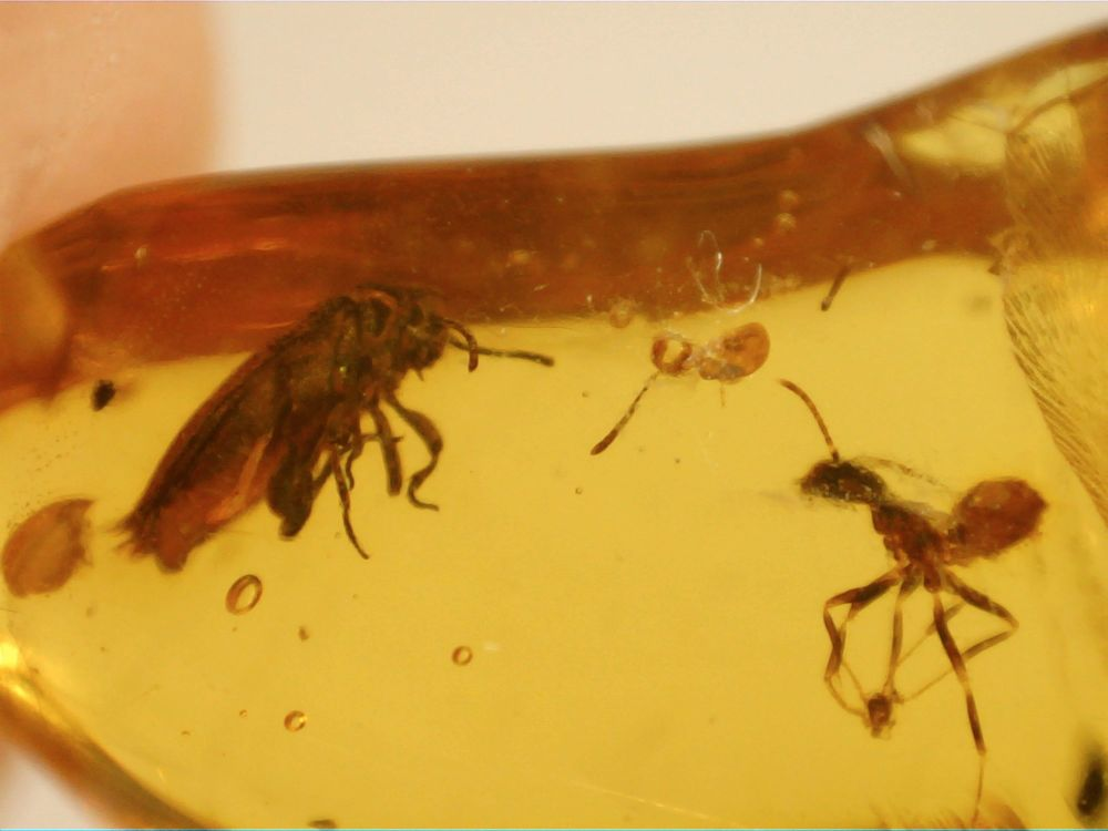 Dominican Amber Inclusion #83 (Ant & Beetle)