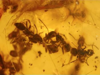 Dominican Amber Inclusion #84 (Swarm of Ants)