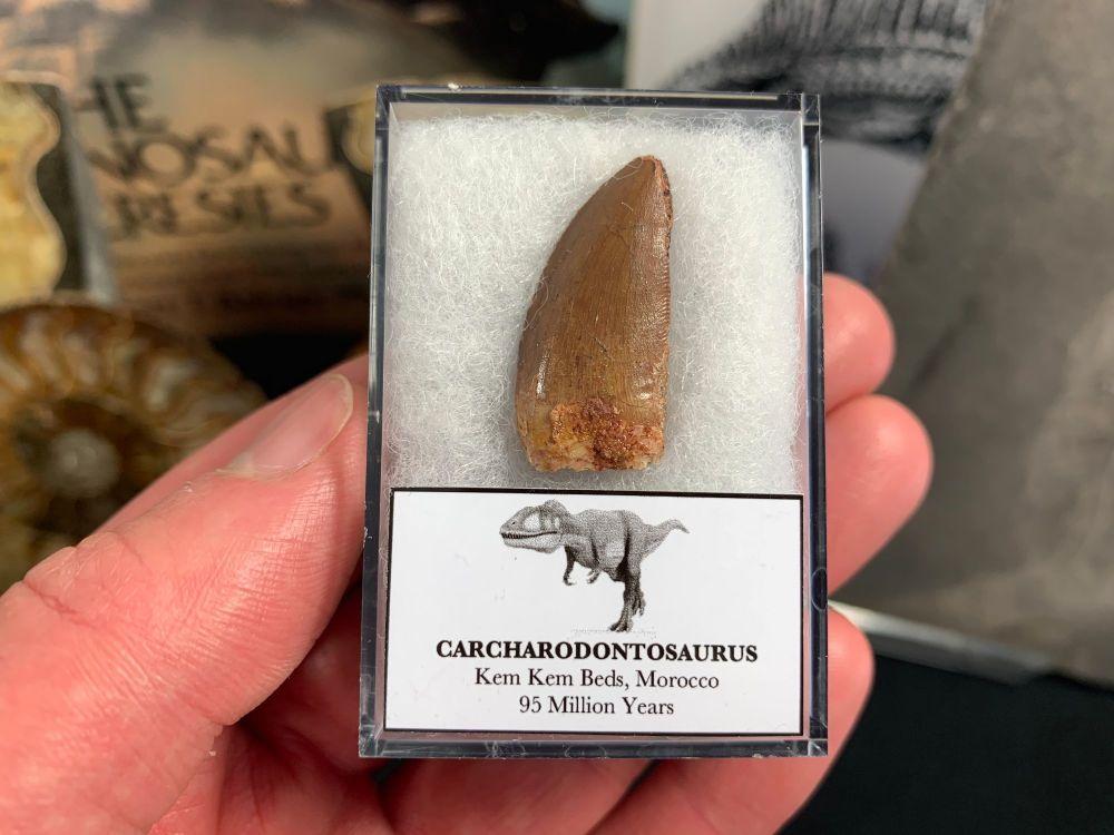 Carcharodontosaurus Tooth - 1.06 inch #CT24