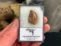 Carcharodontosaurus Tooth - 0.81 inch #CT25