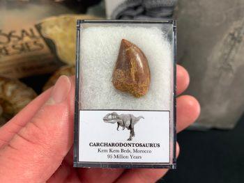 Carcharodontosaurus Tooth - 0.81 inch #CT25