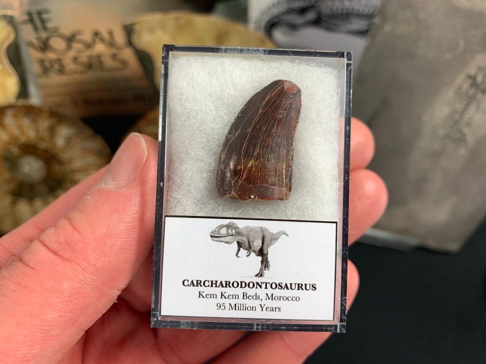 Carcharodontosaurus Tooth - 1 inch #CT34