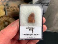 Carcharodontosaurus Tooth - 0.56 inch #CT35