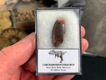 Carcharodontosaurus Tooth - 0.94 inch #CT37