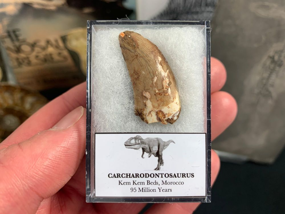 Carcharodontosaurus Tooth - 1.25 inch #CT38