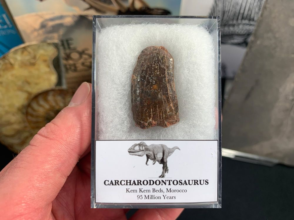 Carcharodontosaurus Tooth - 1.31 inch #CT44