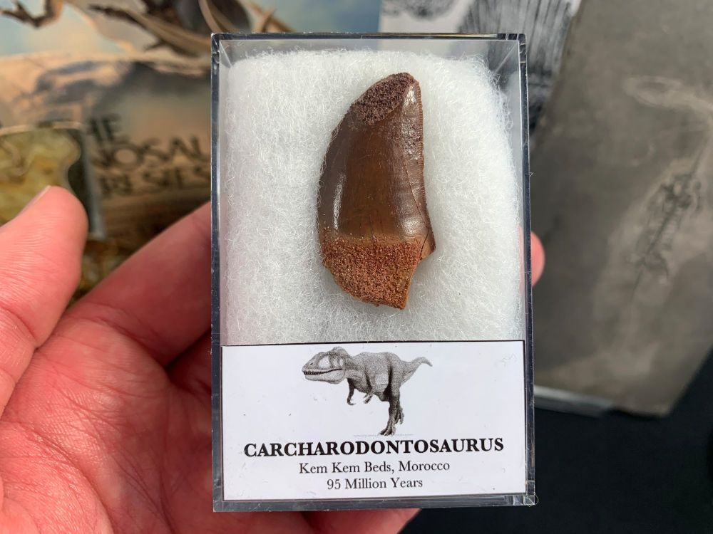 Carcharodontosaurus Tooth - 1.5 inch #CT45