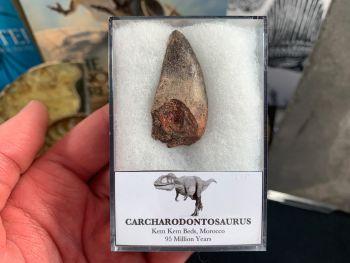 Carcharodontosaurus Tooth - 1.5 inch #CT47