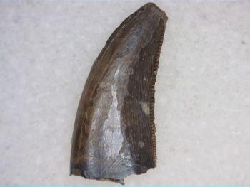 Saurornitholestes Dromaeosaur Tooth (Judith River Fm.) #02