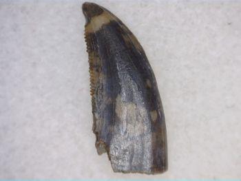 Saurornitholestes Dromaeosaur Tooth (Judith River Fm.) #03