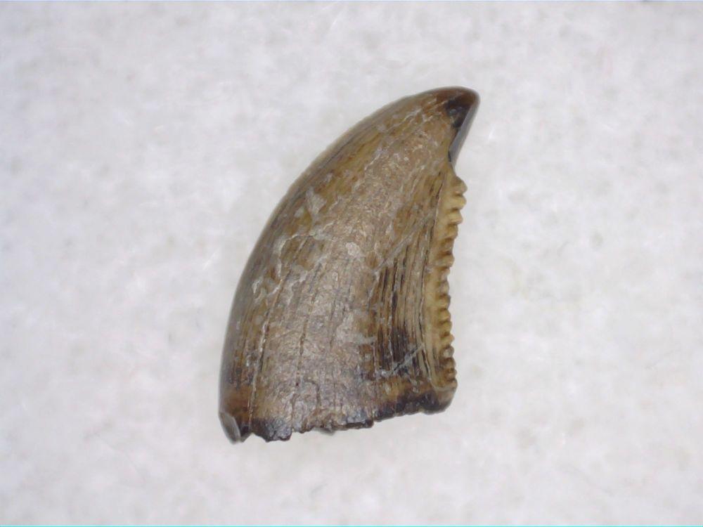 Saurornitholestes Dromaeosaur Tooth (Judith River Fm.) #06