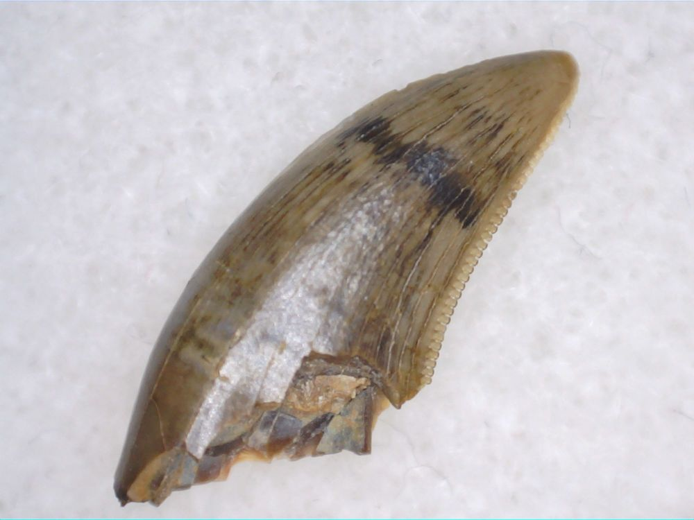 Theropod Dinosaur Tooth (Judith River Fm.) #01