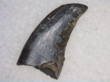 Theropod Dinosaur Tooth (Judith River Fm.) #04