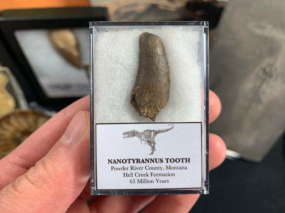 Nanotyrannus Tooth #67