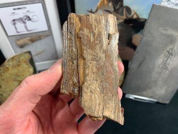 Mammoth Tusk #17