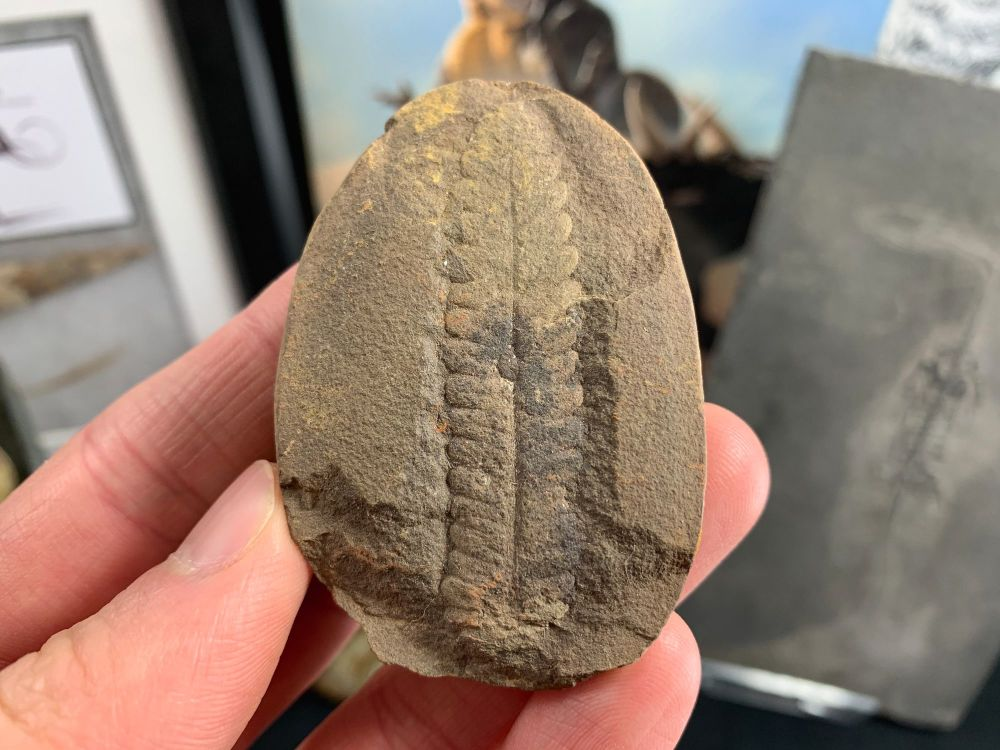 Fossil Fern (Pecopteris), Mazon Creek #MC01