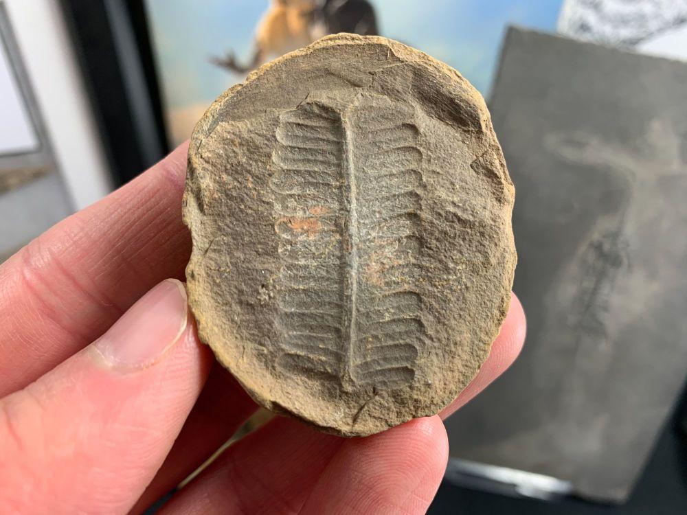 Fossil Fern (Pecopteris), Mazon Creek #MC02