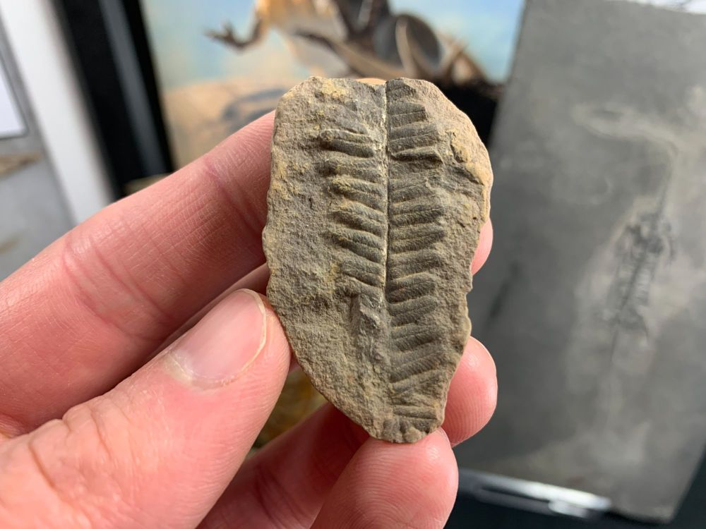 Fossil Fern (Pecopteris), Mazon Creek #MC05