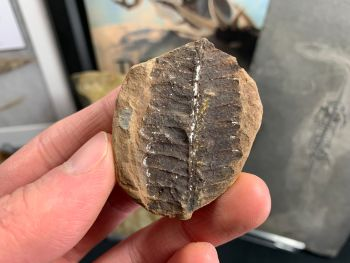 Fossil Fern (Pecopteris), Mazon Creek #MC13
