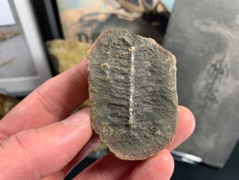 Fossil Fern (Pecopteris), Mazon Creek #MC15
