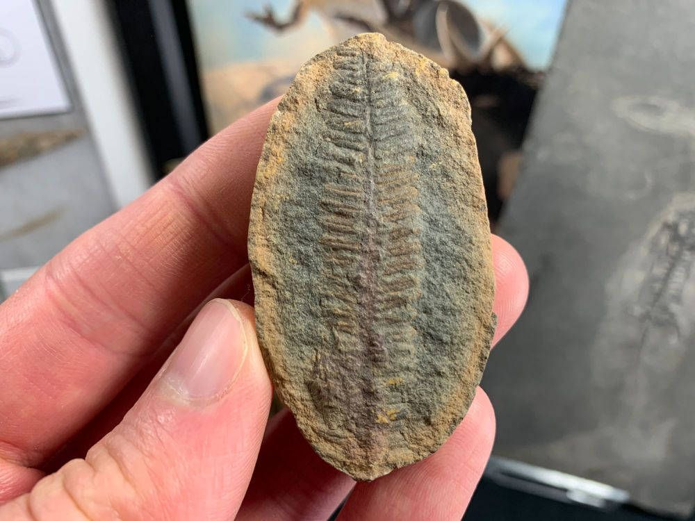 Fossil Fern (Pecopteris), Mazon Creek #MC19