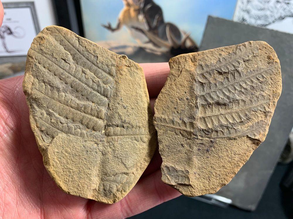 Fossil Fern (Pecopteris), Mazon Creek #MC26