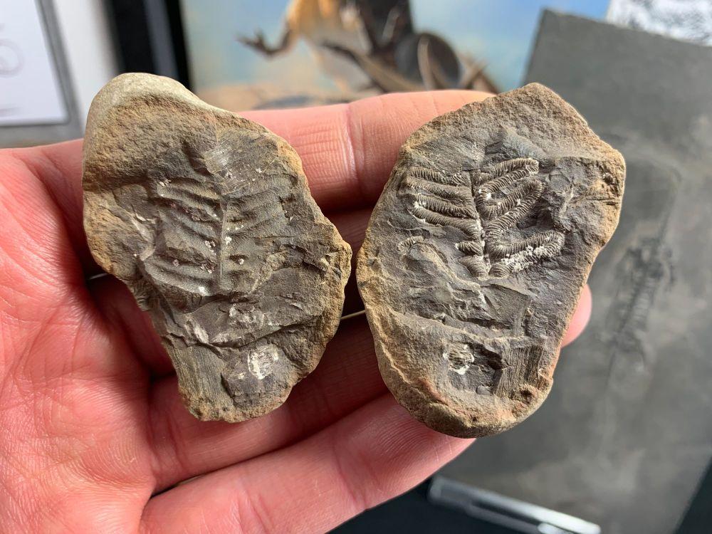 Fossil Fern (Acitheca polymorpha), Mazon Creek #MC27