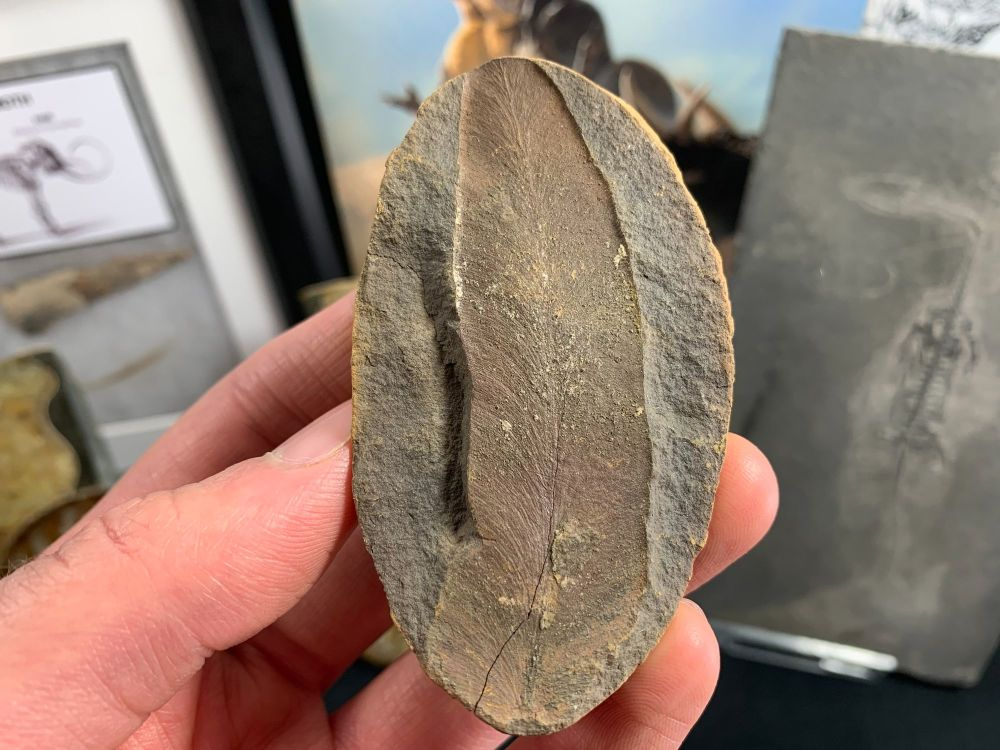Fossil Fern (Macroneuropteris), Mazon Creek #MC31