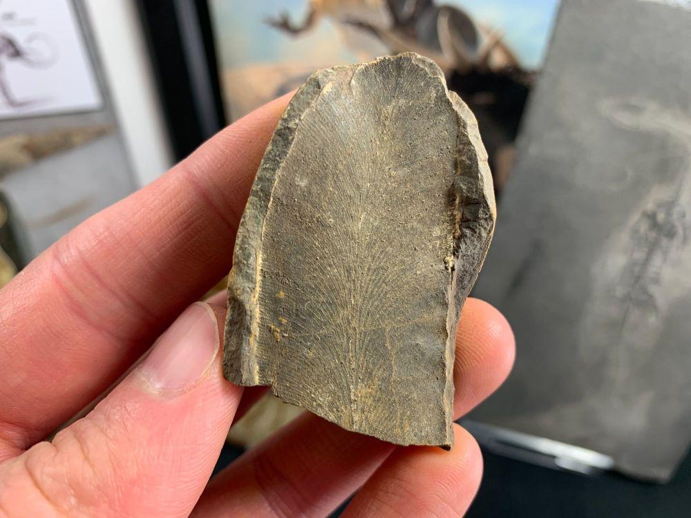 Fossil Fern (Macroneuropteris), Mazon Creek #MC33