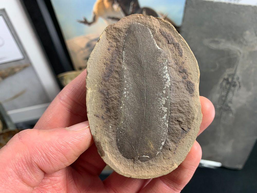Fossil Fern (Macroneuropteris), Mazon Creek #MC35