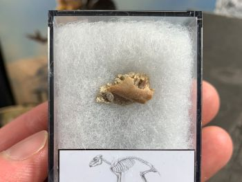 Cainotherium Mammal Jaw, France #02