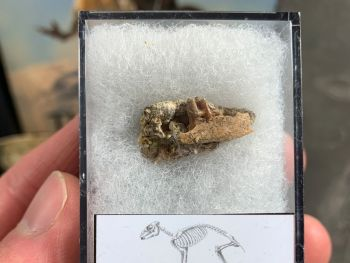 Cainotherium Mammal Jaw, France #03