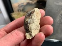 Plagiolophus (Primitive Horse) Tooth, France #02
