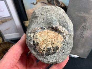 Fossil Crab (Galene granulifera), Taiwan