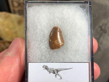 Abelisaur Dinosaur Tooth #AB05