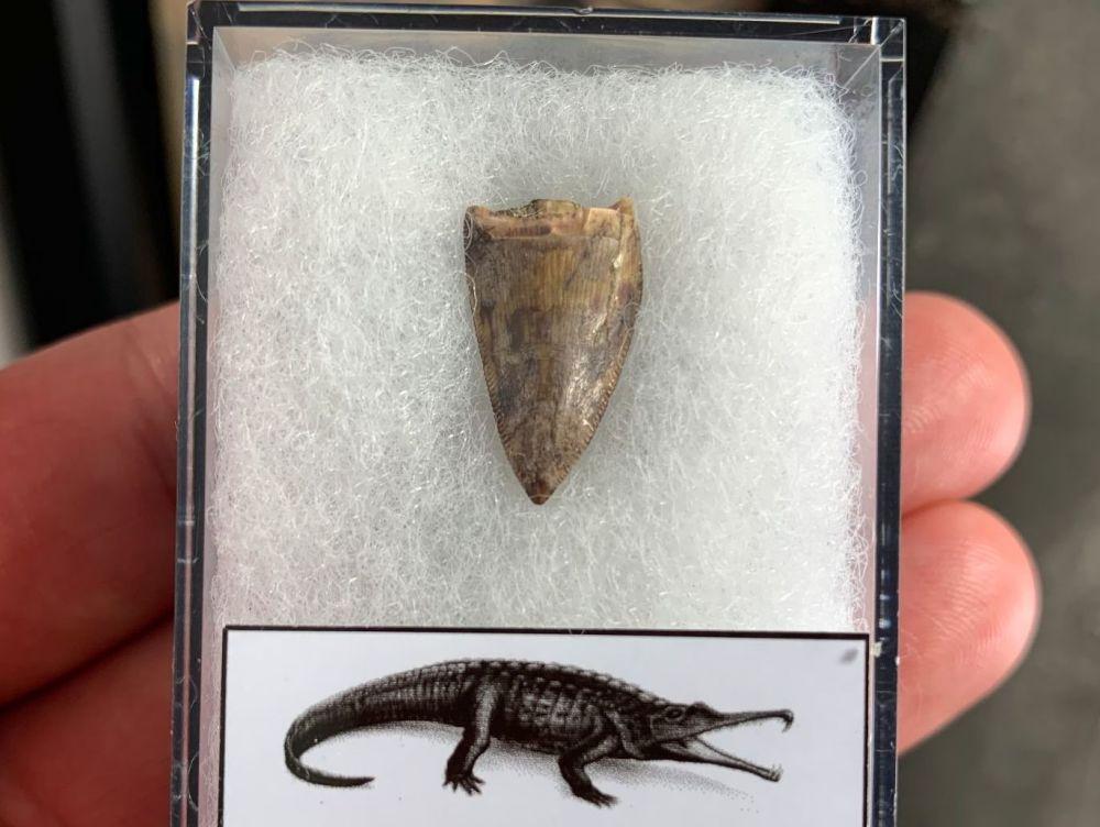 Phytosaur Tooth #08