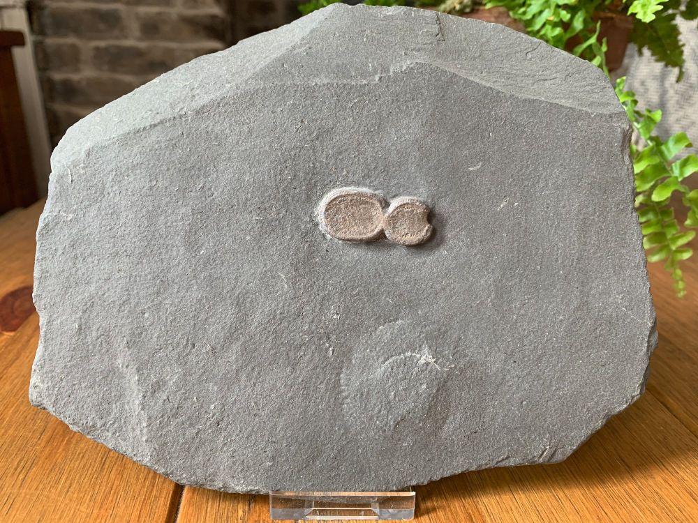 Ichthyosaur Phalanges (Paddle Bones), Germany