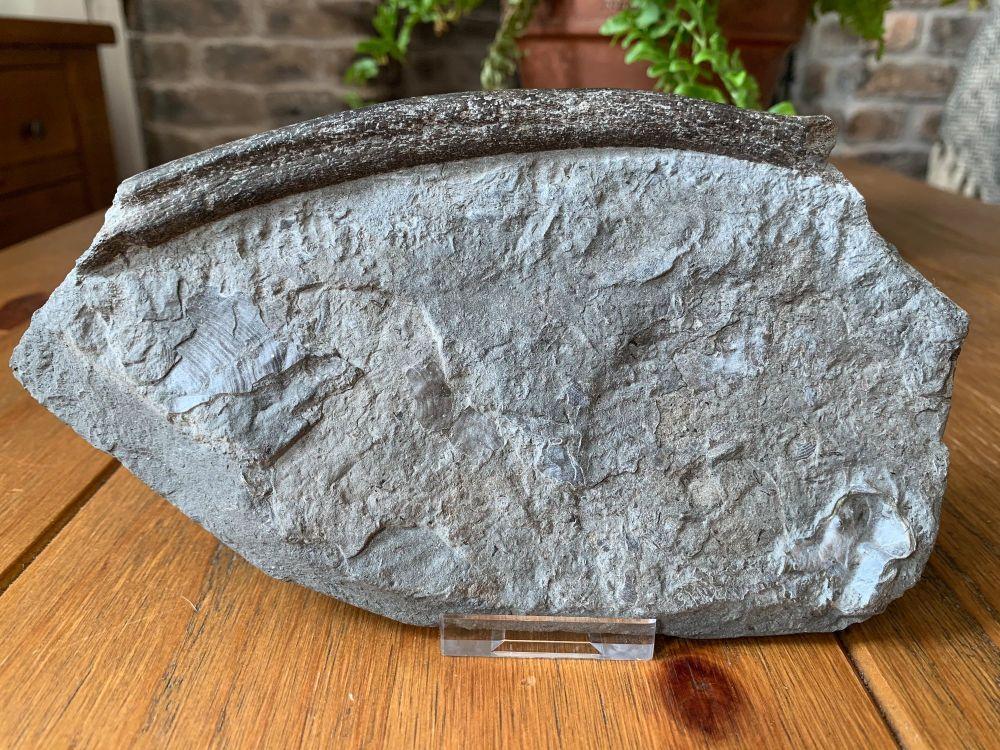 Ichthyosaur Rib, Germany