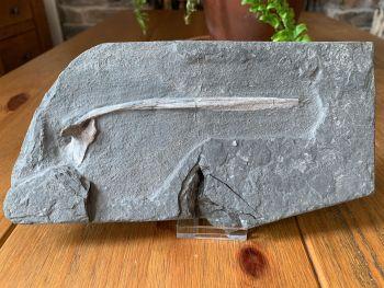 Ichthyosaur Rib , Germany #03