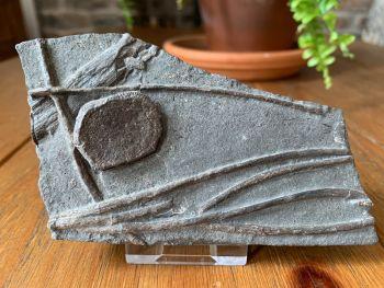 Ichthyosaur Ribs & Phalange (Paddle Bone), Germany