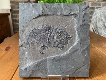 Dapedium Fossil Fish (Germany)