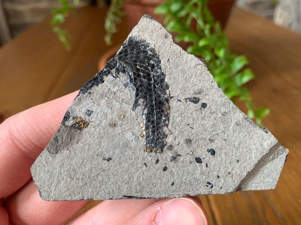 Osteolepis panderi, Devonian Fossil Fish (Scotland) #04
