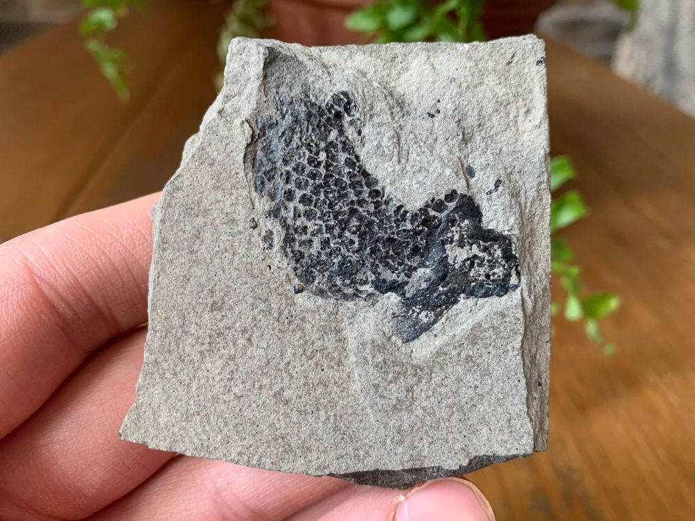 Osteolepis panderi, Devonian Fossil Fish (Scotland) #05
