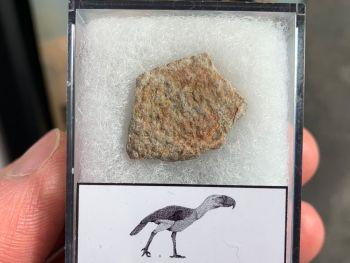 Gastornis (Giant Bird) Eggshell #02